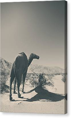 In The Hot Desert Sun Canvas Print