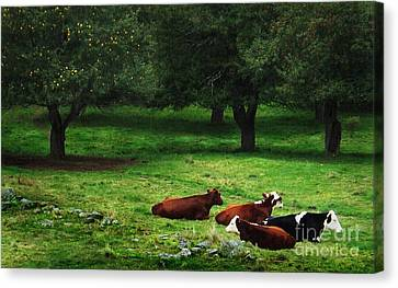 In The Orchard Cows Are Resting Canvas Print by Joy Nichols