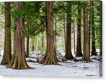 Canvas Print featuring the photograph In The Thuja Forest by Kennerth and Birgitta Kullman