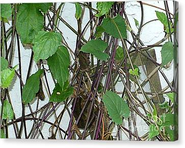 In The Vines Canvas Print by Kryztina Spence