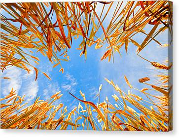 In The Wheat Canvas Print by Alexey Stiop