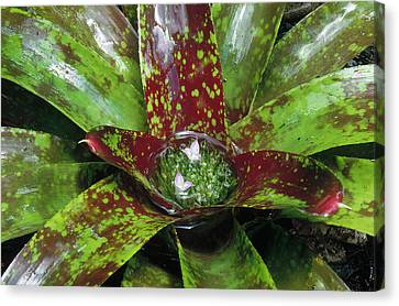 Inca Bromeliad Detail Canvas Print by Gerry Ellis