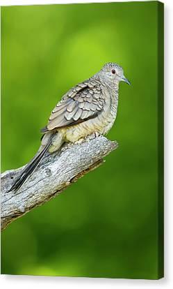 Inca Dove (columbina Inca Canvas Print by Larry Ditto