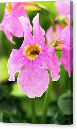 Incarvillea Mairei Flower Canvas Print by Adrian Thomas