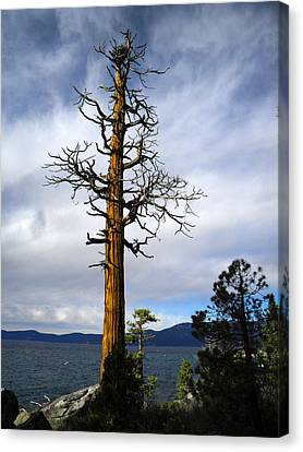 Incense Cedar With Osprey Nest Canvas Print