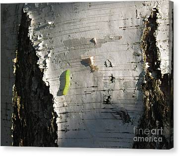 Inchworm On Paper Birch Canvas Print by Anna Lisa Yoder