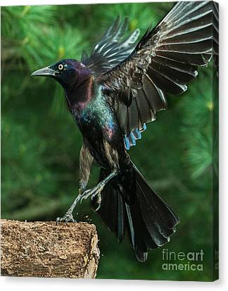 Incoming Grackle Canvas Print