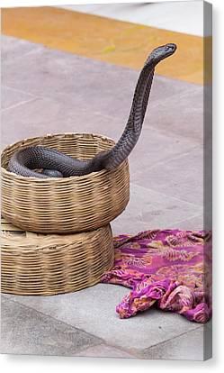 India, Rajasthan, Jaipur, Snake Canvas Print
