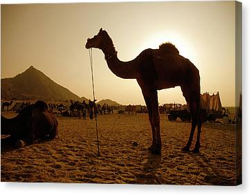 India, Rajasthan, Pushkar Canvas Print by David Noyes