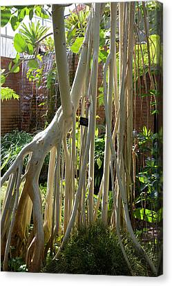 Indian Banyan Tree (ficus Benghalensis) Canvas Print