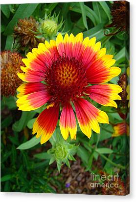 Indian Blanket Flower Canvas Print by Sue Melvin