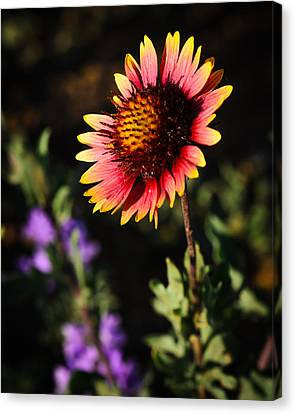 Indian Blanket Canvas Print by Thomas Pettengill