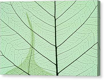 Indian Fig, (ficus Religiosa Canvas Print by Kevin Schafer
