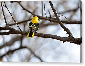 Indian Golden Oriole Canvas Print by Fotosas Photography