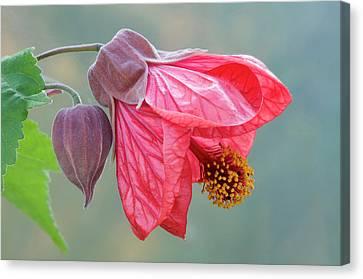 Indian Mallow Flower Canvas Print