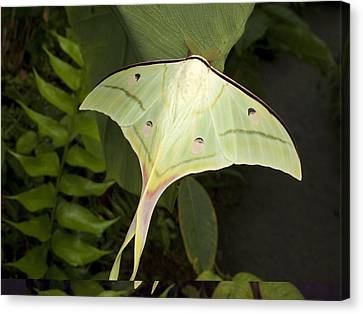 Indian Moon Moth (actias Selene) Canvas Print by Science Photo Library
