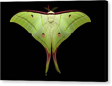 Indian Moon Moth Canvas Print by Tomasz Litwin