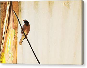 Indian Myna Comes To Dinner Canvas Print by Kantilal Patel