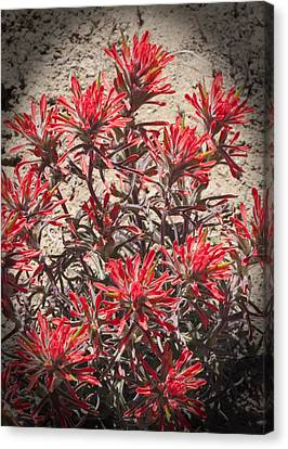 Canvas Print featuring the photograph Indian Paint Brush by Daniel Hebard