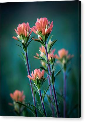 Jamesbarber Canvas Print - Indian Paintbrush At Dawn by James Barber