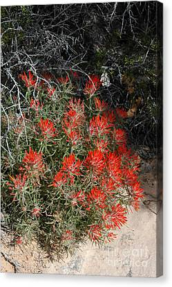 333p Indian Paintbrush Flower Canvas Print by NightVisions