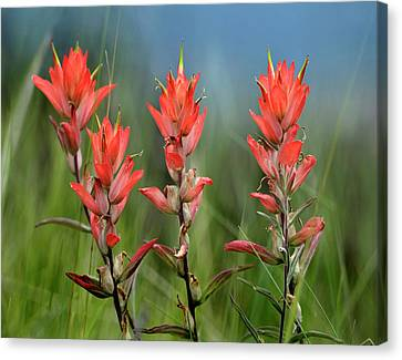 Close Focus Floral Canvas Print - Indian Paintbrush Wildflowers, Colorado by Tim Fitzharris