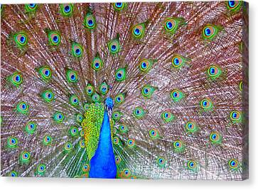 Canvas Print featuring the photograph Indian Peacock by Deena Stoddard