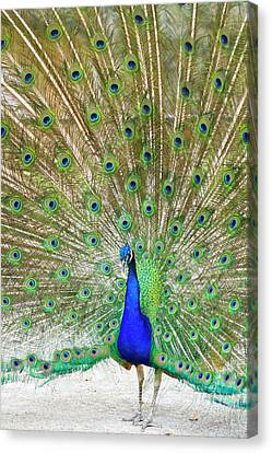 Indian Peafowl (pavo Cristata Canvas Print by Larry Ditto
