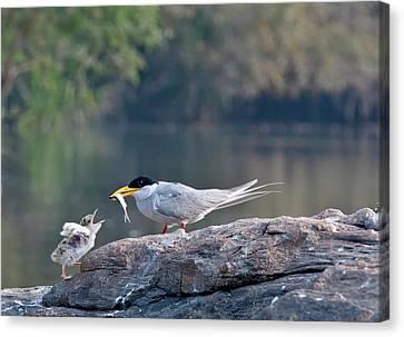 Indian River Tern Feeding Chick Canvas Print by K Jayaram