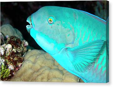 Indian Steephead Parrotfish On A Reef Canvas Print by Louise Murray