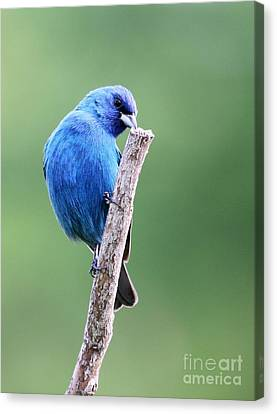 Canvas Print featuring the photograph Indigo Bunting by Jack R Brock
