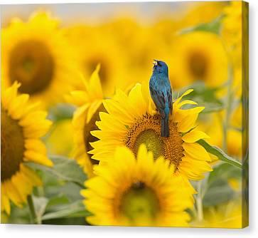 Indigo Bunting On Sunflower Canvas Print
