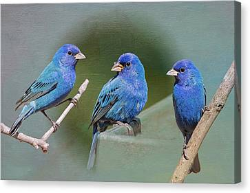 Indigo Buntings Canvas Print by Bonnie Barry