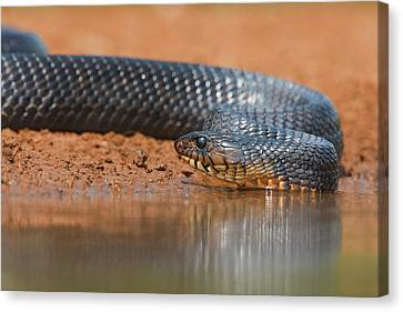 Indigo Snake (drymarchon Corais Canvas Print by Larry Ditto