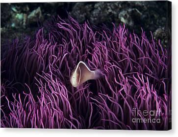 Sea Anenome Canvas Print - Indonesia, Pink Anenome Fish In Sea Anenome _amphiprion Perideraion_. by Ed Robinson
