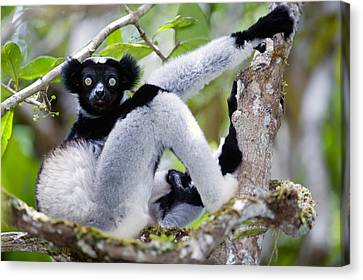 Indri Lemur Indri Indri Sitting Canvas Print by Panoramic Images