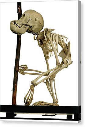 Infant Orangutan Skeleton Canvas Print by Ucl, Grant Museum Of Zoology