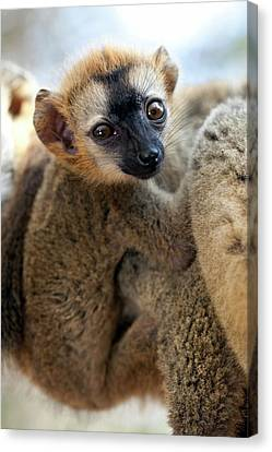 Infant Red-fronted Brown Lemur Canvas Print by Alex Hyde