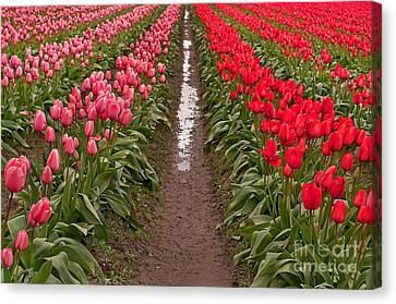 Infinity Rows Or Red And Pink Tulips Canvas Print by Valerie Garner