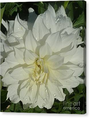 Canvas Print featuring the photograph Innocent White Dahlia  by Susan Garren
