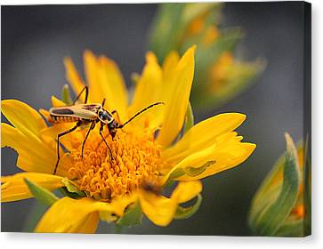 Insect On Cowpen Daisy Canvas Print
