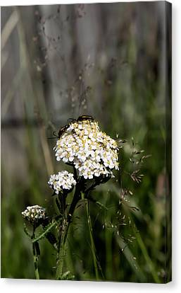 Canvas Print featuring the photograph Insect On White Flower by Leif Sohlman