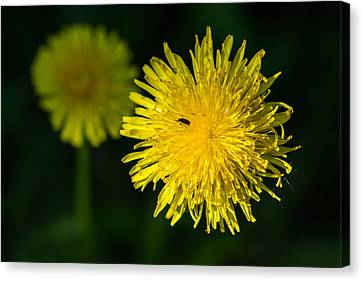Insects On A Dandelion Flower - Featured 3 Canvas Print by Alexander Senin