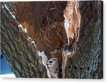 Canvas Print featuring the photograph Inside A Bradford Pear Tree by Emmy Marie Vickers
