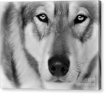 Intence Sled Dog Black And White Canvas Print by Lila Fisher-Wenzel