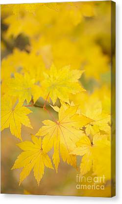 Intensely Yellow Canvas Print by Anne Gilbert