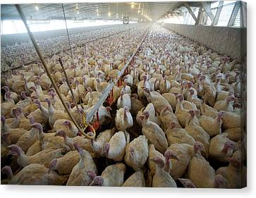 Intensive Turkey Farm Canvas Print by Peter Menzel