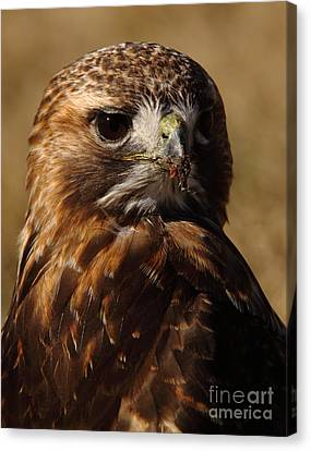 Red Tailed Hawk Portrait Canvas Print by Robert Frederick
