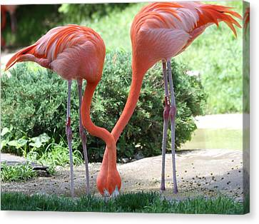 Intertwined Flamingoes Canvas Print by Dan Sproul