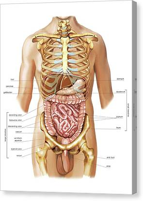 Intestines Canvas Print by Asklepios Medical Atlas